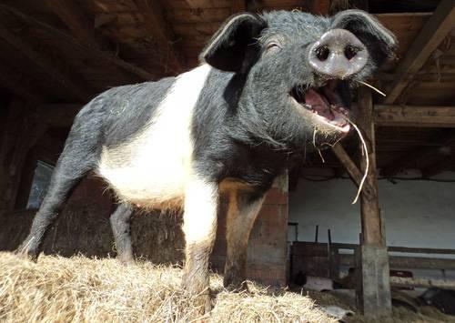 Biologische Schweinezucht im Bayerischen Wald