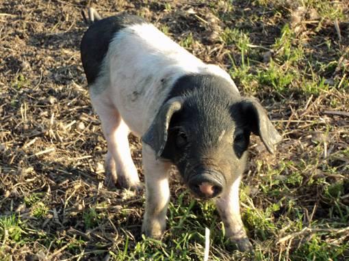 Glückliche Schweine im Bayerischen Wald