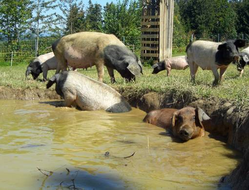Artgerechte Schweinehaltung mit Suhle