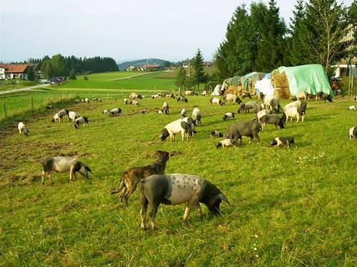 Schweinezucht Bayern Fütterung mit Weidegras