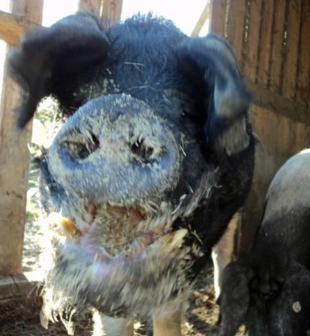 Biologische Schweinezucht Bayern Fütterung