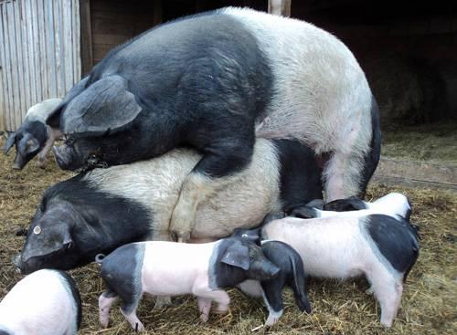 Eber deckt Sau vor Schweinestall