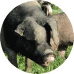 schweinezucht-bayerischer-wald