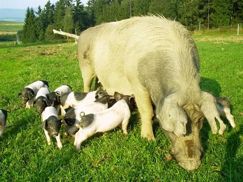 Schweinezucht in Bayern mit Freilandhaltung